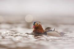 Un maschio dell'anatra di mandarino Fotografie Stock Libere da Diritti