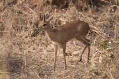 Un maschio dello steenbok che cammina nel cespuglio intorno all'automobile di safari fotografie stock