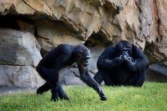 Un maschio di due scimpanzè e seduta femminile su un fondo della roccia fotografie stock