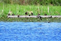 Un maschio Woodduck sta appena circa per discendere sopra il lago fotografia stock