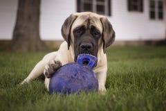Un mastiff et son jouet images stock