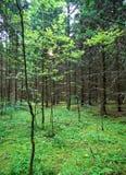 Un matin frais d'été dans la forêt russe Image libre de droits