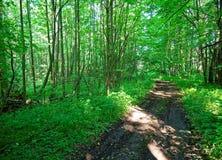 Un matin frais d'été dans la forêt russe Photographie stock libre de droits