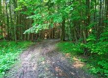Un matin frais d'été dans la forêt russe Photos libres de droits