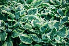 Un matorral de la planta del hosta con verde oval se va con los bordes blancos Imágenes de archivo libres de regalías