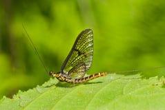 un mayfly dei 2 ephemeroptera Fotografia Stock