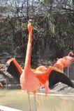 Un mayor flamenco fotografió en el parque zoológico de Columbus en Ohio foto de archivo