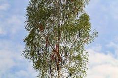 Un Maypole tradicional con las cintas coloreadas imagen de archivo