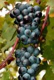 Un mazzo d'aderenza di uva fotografia stock