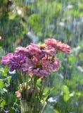 Un mazzo degli zinnias nella pioggia Fotografia Stock Libera da Diritti