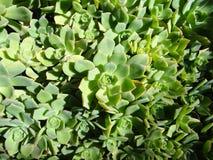 Un mazzo dei succulenti Fotografie Stock Libere da Diritti