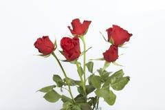 Un mazzo del color scarlatto delle rose Cinque fiori Su una priorità bassa bianca fotografie stock libere da diritti