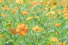 Un mazzo del fiore giallo cosmico dell'universo fotografia stock libera da diritti
