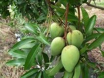 Un mazzo del mango nel cortile: Phetchaburi thailand Fotografia Stock