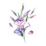 Un mazzo dell'isolato del fiore di eustoma dell'acquerello sul backgrou bianco Immagini Stock Libere da Diritti