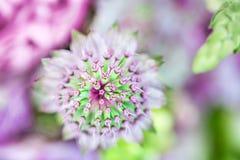 Un mazzo della composizione dei fiori della cipolla dell'allium Fotografia Stock