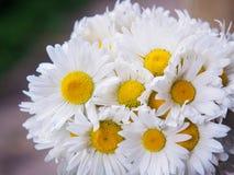 Un mazzo delle margherite bianche del campo su un verde ha offuscato il fondo Fiori con i petali bianchi ed il primo piano giallo Fotografie Stock