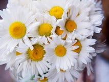 Un mazzo delle margherite bianche del campo su un verde ha offuscato il fondo Fiori con i petali bianchi ed il primo piano giallo Immagini Stock