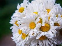 Un mazzo delle margherite bianche del campo su un verde ha offuscato il fondo Fiori con i petali bianchi ed il primo piano giallo Fotografie Stock Libere da Diritti