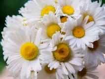 Un mazzo delle margherite bianche del campo su un verde ha offuscato il fondo Fiori con i petali bianchi ed il primo piano giallo Immagine Stock