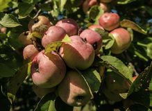 Un mazzo delle mele di granchio in un albero fotografia stock