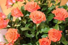 Un mazzo delle rose beige Fotografie Stock Libere da Diritti