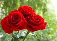 Un mazzo delle rose rosse Fotografia Stock Libera da Diritti