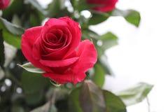 Un mazzo delle rose rosse Immagini Stock Libere da Diritti
