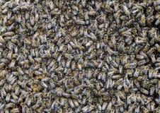 Un mazzo denso degli sciami delle api nelle api, nei fuchi e nell'utero di lavoro del nido in uno sciame delle api Ape del miele  Fotografie Stock