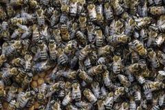 Un mazzo denso degli sciami delle api nelle api, nei fuchi e nell'utero di lavoro del nido in uno sciame delle api Ape del miele  Immagine Stock Libera da Diritti
