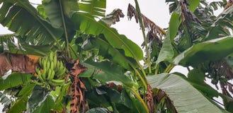 Un mazzo di banane verdi sull'albero - agricoltura in Africa immagine stock libera da diritti