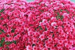 Un mazzo di bello crisantemo fiorisce all'aperto Crisantemi nel giardino Chrisanthemum variopinto del fiore Reticolo floreale immagine stock libera da diritti