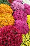 Un mazzo di bello crisantemo fiorisce all'aperto Crisantemi nel giardino Chrisanthemum variopinto del fiore Reticolo floreale fotografie stock