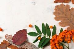 Un mazzo di cenere di montagna arancio matura con le foglie verdi Fogli asciutti di autunno Bacche nere Pietra o gesso bianca Fotografia Stock