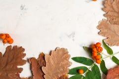 Un mazzo di cenere di montagna arancio matura con le foglie verdi Fogli asciutti di autunno Bacche nere Pietra o gesso bianca Immagini Stock Libere da Diritti
