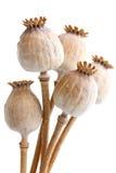 Un mazzo di cinque ha asciugato i baccelli del seme di papavero su bianco Immagine Stock