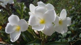 Un mazzo di fiori del frangipane Fotografia Stock Libera da Diritti