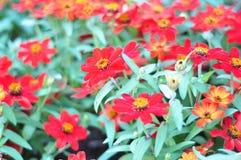 Un mazzo di fiori rossi di fioritura, molto luminoso fotografia stock