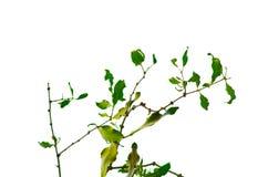 Un mazzo di foglie parassitarie verdi dell'albero isolate su fondo bianco Fotografia Stock Libera da Diritti