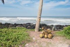 Un mazzo di noci di cocco sulla terra Immagini Stock