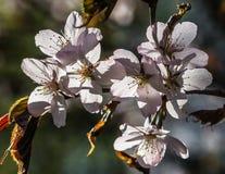 Un mazzo di sette fiori della ciliegia Immagine Stock Libera da Diritti