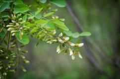 Un mazzo di stagione di fioritura dell'acacia che raccoglie il miele naturale delle api dall'acacia Fuoco selettivo immagini stock
