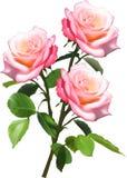 Un mazzo di tre rose rosa-chiaro isolate su bianco Fotografie Stock Libere da Diritti
