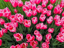 Un mazzo di tulipani rosa vibranti Fotografia Stock