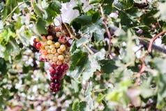 Un mazzo di uva Fotografia Stock Libera da Diritti