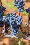 Un mazzo di uva Immagine Stock Libera da Diritti