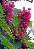 Un mazzo di uva un giorno piovoso di autunno Berry Picking Fotografie Stock Libere da Diritti