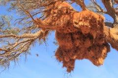 Un mazzo enorme dei nidi gialli dell'uccello dall'erba sul ramo dell'Africano fotografie stock libere da diritti