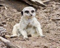 Un Meerkat Photographie stock libre de droits
