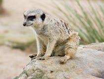 Un Meerkat Photos libres de droits